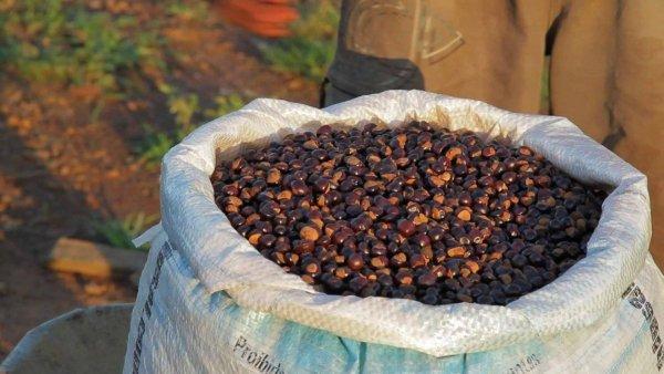 Guarana - ziarno całe - produkt