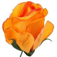 Róża Pąk Pomarańcz [Komplet 12szt]