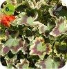 Pelargonia deco MR.Pollock 6 sztuk