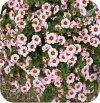 Calita (Million bells) różowa z oczkiem 6 sztuk