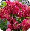Hortensja krzewiasta Wim's Red 6 sztuk