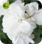 Pelargonia rabatowa biała  6 sztuk