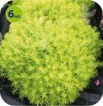 Sedum Winter Green 6 sztuk