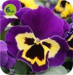 Bratek Yellow purple wing 6 sztuk