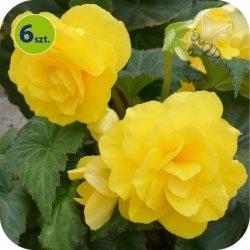 Begonia Bulwiasta żółta  6 sztuk