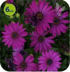 Osteospermum purpurowe 6 sztuk