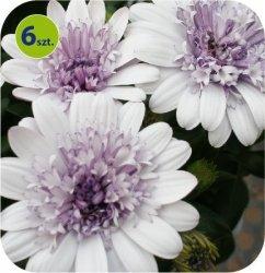 Osteospermum pełne białe 6 sztuk