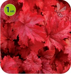 Heuchera Fire Chief 1 sztuka