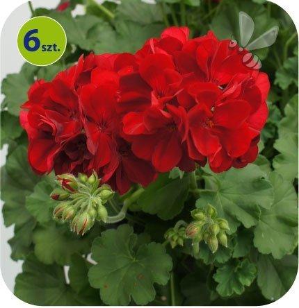 Pelargonia Calliope Dark Red 6 sztuk