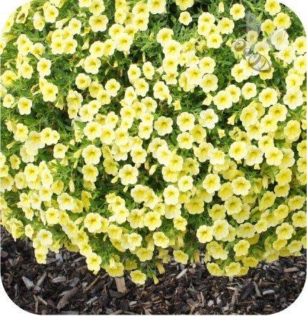 Calita (Million bells) żółta 6 sztuk