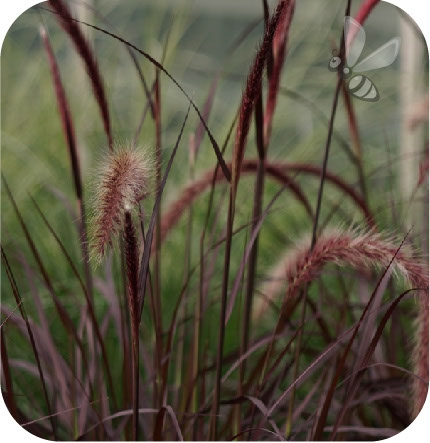 Penisetum Rubrum 6 sztuk