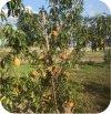 Brzoskwinia Fruit Me® Peach Me Yellow 1 sztuka