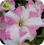 Surfinia pink star 6 sztuk