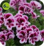 Pelargonia angielska Purple Stripe 6 sztuk