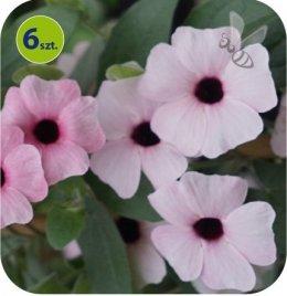 Thunbergia Pink Beauty 6 sztuk