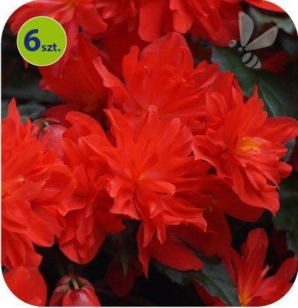 Begonia Bellavista czerwona  6 sztuk