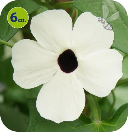 Thunbergia White Helo 6 sztuk