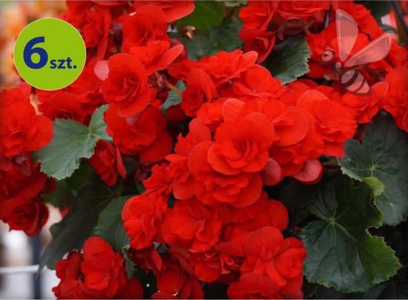 begonia Solenia Red Orange allegro