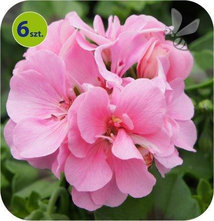 pelargonia wisząca różowa
