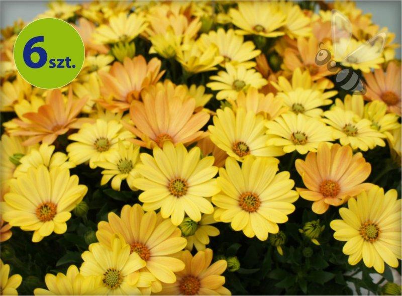 osteospermum żółte_allegro