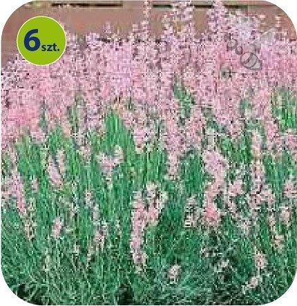 lavenda rosea