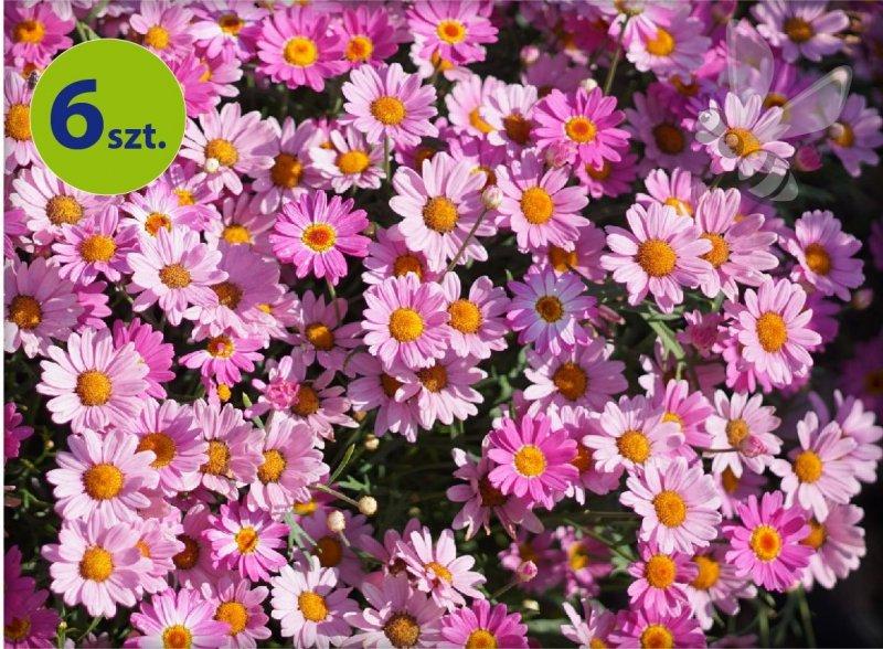 Argyranthemum Pink Eye