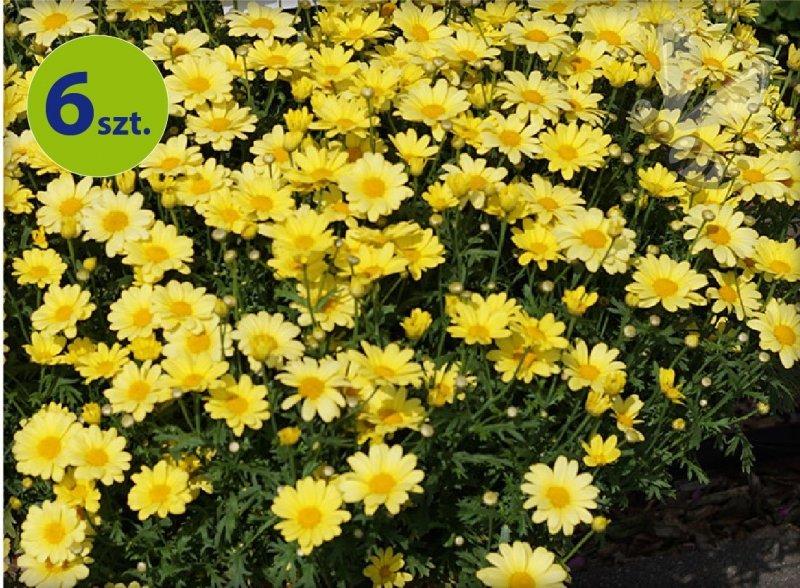 Margarytka Yellow 6 sztuk