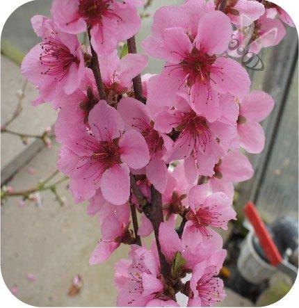 kwiaty brzoskwini  Fruit Me® Icepach