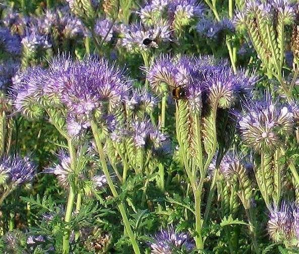 Facelia błękitna - nasiona 1 kg
