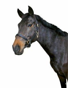 Kantar skórzany dla koni zimnokrwistych czarny