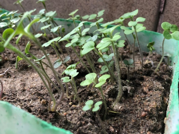 Gorczyca poplonowa/miododajna odmiana Biała 1kg