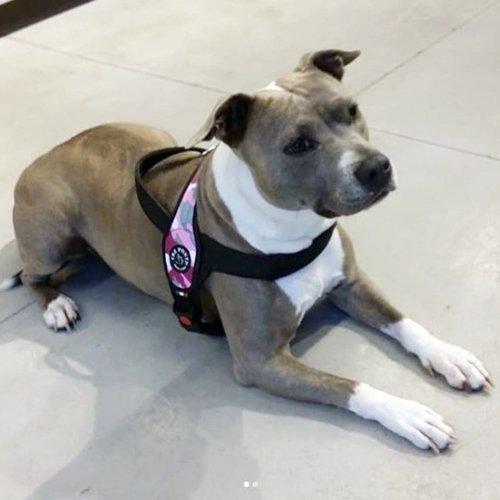 Szelki PRIMO Moro różowe dla dużego psa Tre Ponti