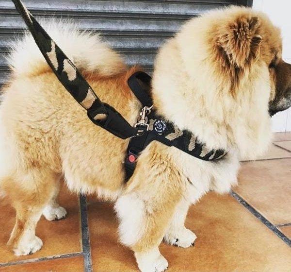 Dog Lead TRE PONTI moro for big breeds