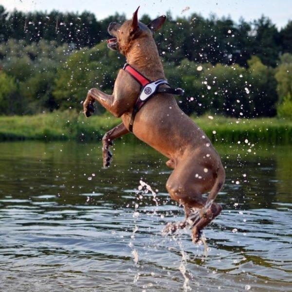 Szelki PRIMO PLUS czerwone carbon dla dużego psa