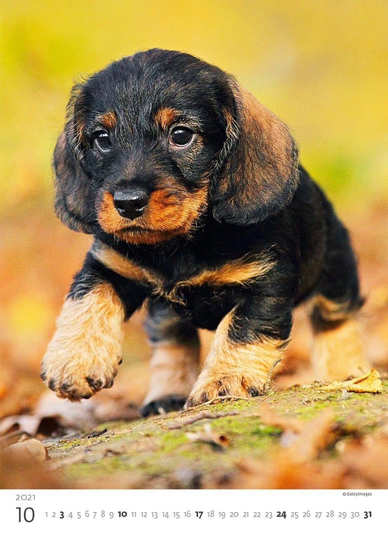 Kalendarz ścienny wieloplanszowy Puppies 2021 - październik 2021