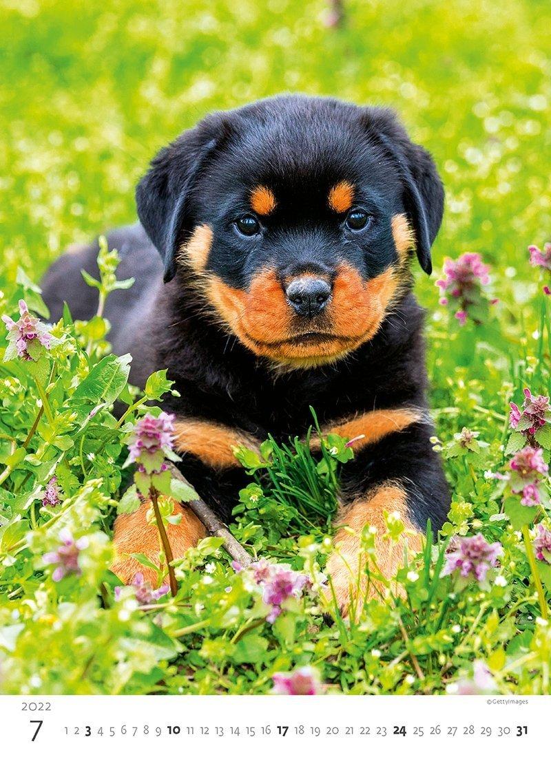 Kalendarz ścienny wieloplanszowy Puppies 2022 - lipiec 2022