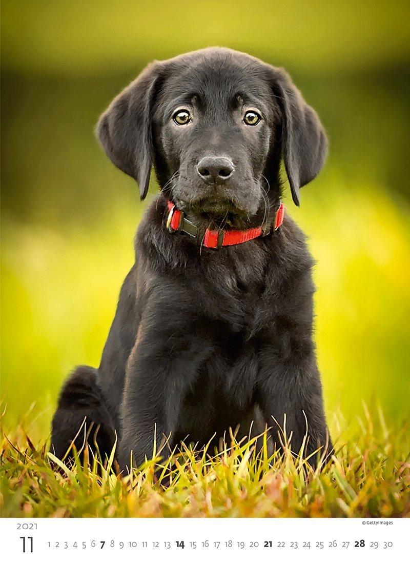 Kalendarz ścienny wieloplanszowy Puppies 2021 - listopad 2021