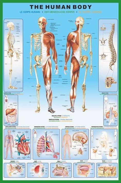 Anatomia Człowieka - Szkielet - plakat