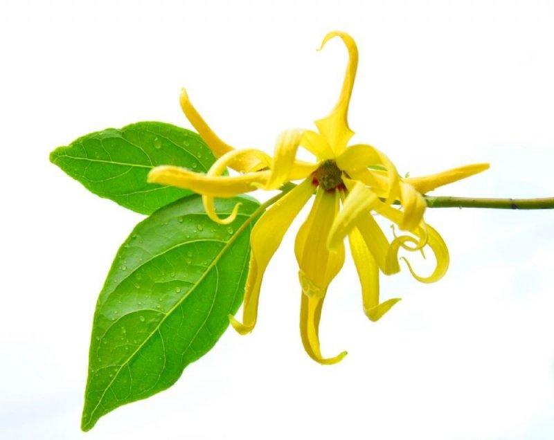 Olejek Ylang-Ylang, 100% Naturalny, Aromatika, 10ml