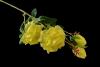 Róża na gałązce z pąkami MIX - BXT1780
