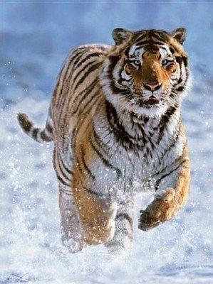 RAVEN. 500 EL. Tygrys w Śniegu