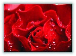 Krople w płatkach róży - Obraz na płótnie
