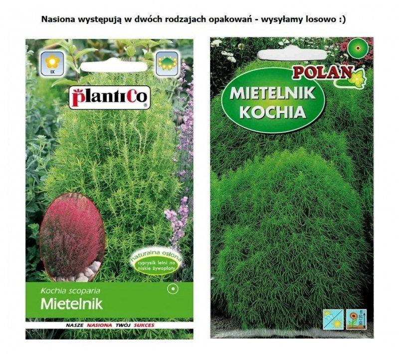 MIETELNIK - KOCHIA - CZERWONA TRAWA nasiona 2g