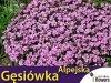 Gęsiówka alpejska różowa (Arabis alpina) sadzonka