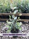 Eukaliptus niebieski sadzonki