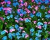 Niezapominajka alpejska (Myosotis alpestris) mieszanka