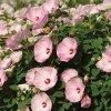 Hibiskus bylinowy pielęgnacja