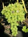 Najlepsza odmiana winogrona do uprawy w Polsce