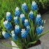 Biało-niebieskie Szafirki Auchera '