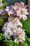 clematis o pełnych kwiatach